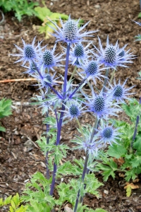 I want some Sea Holly for my garden.