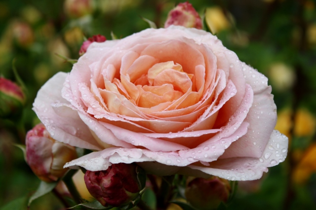 Roses and Rain - a synthesis of objects to create an impressive whole.