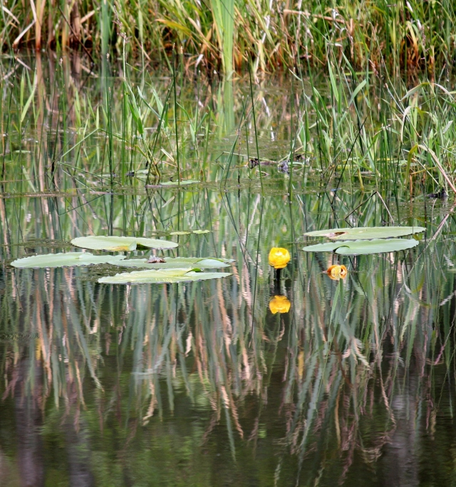 Lily pads on Cottle Lake.  Reflections on the water.