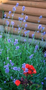 Lavender and Geraniums in the Garden
