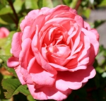 The Roses of Summer