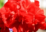 Geraniums - this red is a gorgeous shade.