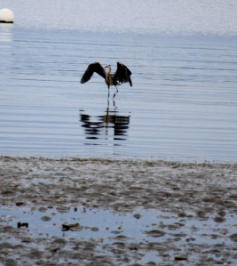 Heron in the morning fishing at low tide.