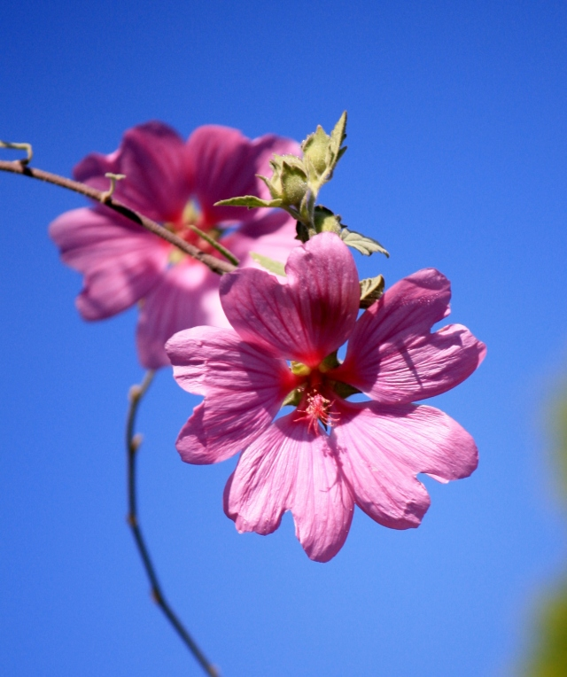 Spindly Mallow and incredible blue sky.