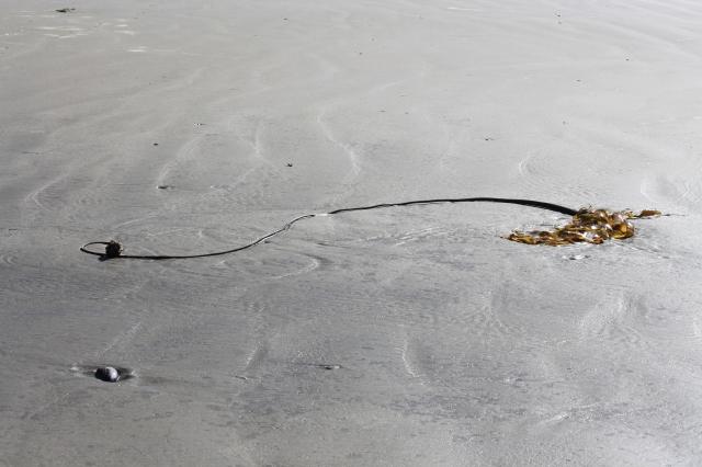 Kelp on the beach.