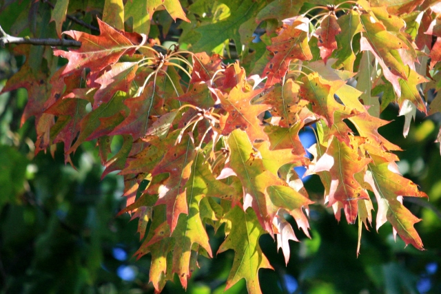 Oak Leaves painted in Fall colours.
