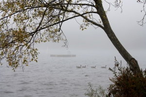 Drifting in the fog.  Canada geese waiting to leave.