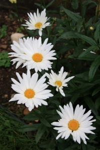 Happy Daisies - so bright against the dull greens!