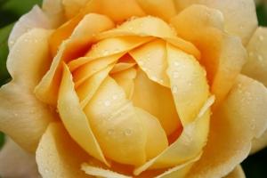Glorious Golden Summer Rose.