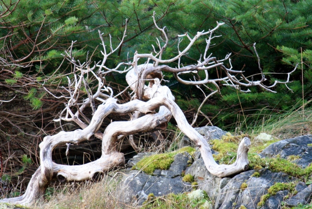 Weathered, gnarled and shaped by constant winds.  Beautiful.