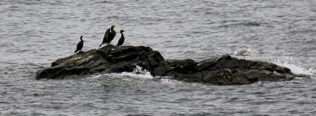 Cormorants at Neck Point.