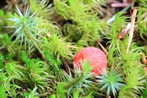 Tiny red puffball in the lichen - natures Christmas colours.
