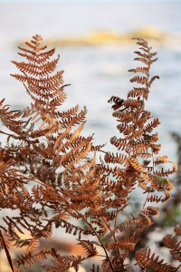 Dried out Bracken, blowing in the breeze.