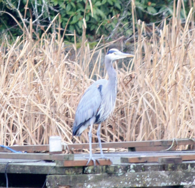 "One of three Heron's ""playing"" at Louden Park."
