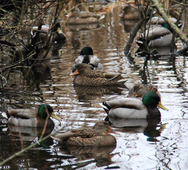 Mallards in the marsh around Divers Lake.
