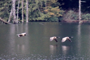 Canadian Geese flying in low across the lake.