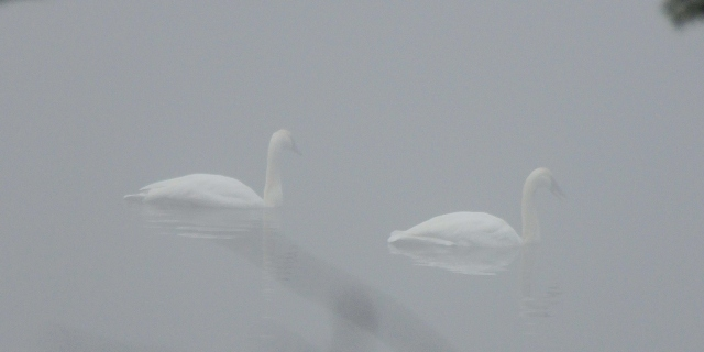Swans drifting in and out of the fog.