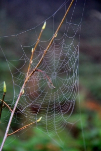 Spider Webs outlined in fog droplets festooning every branch, bush and every rough surface.