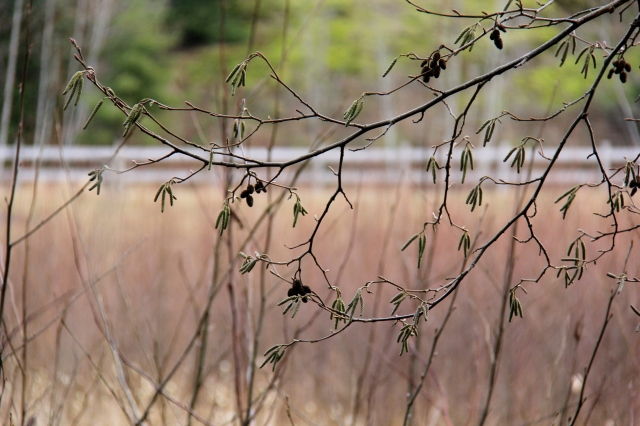 Looking forward - there are green seed pods on these branches.  Spring on the West Coast is only a couple of months away!
