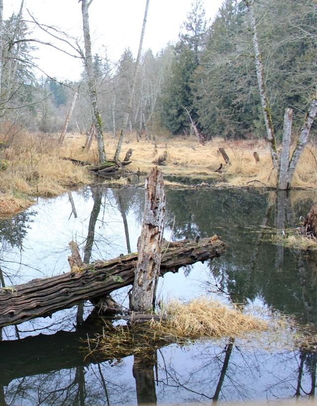 Beaver works creating flooded marshes.