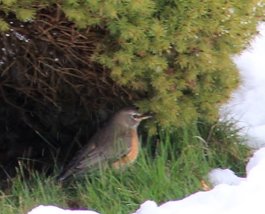 Sheltering Robin.
