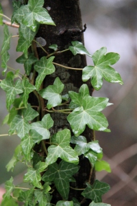 The English Ivy - looks healthy no matter the weather.