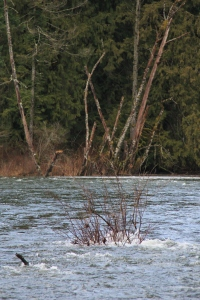 Nanaimo River Flowing up and over formerly dry washes - not all the way - just back a few 100 m.