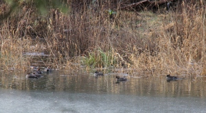 Mergansers behind the ice still on parts of the River.