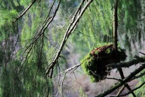 A mossy clump suspended in the trees, hanging above the flowing river.