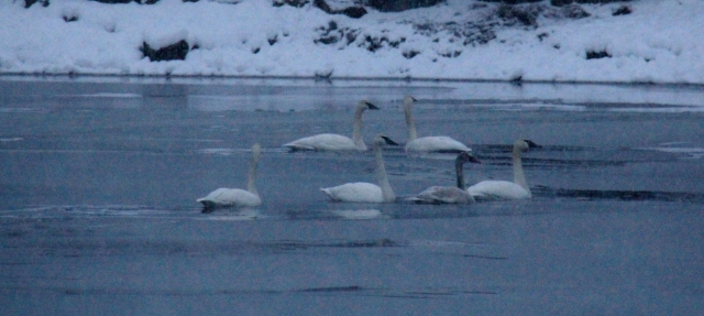 A Bevy of Swans