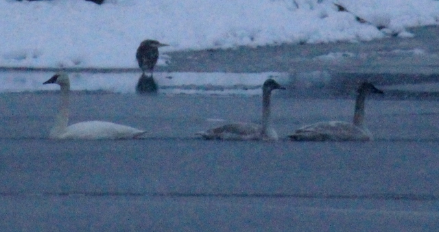 Tundra Swans and a Great Blue Heron