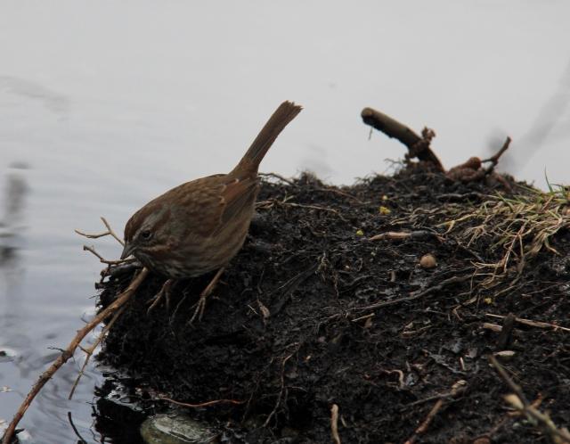 Winter Wren at Diver's Lake.