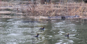 Mergansers on the quiet channel swimming through the drowning brush