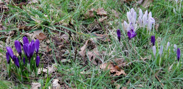 Naturalized crocuses