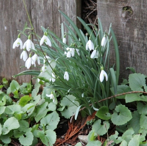 Snowdrops opening up and the lion daisies are coming up!