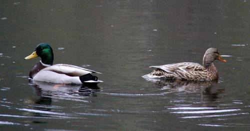 Mallard Ducks at Morrell