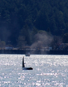 Boats and Orca's