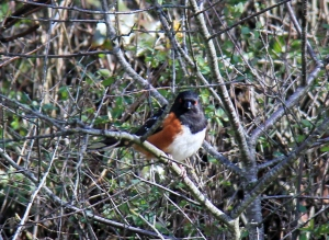 Spotted Towhee on the Lagoon side of the beach.
