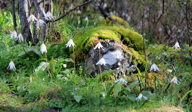 Moss carpeted stones offer protection and support for the delicate Curly Lily that carpet the ground in the protected center of the point.