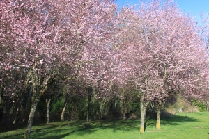 Thousands of pink blooms colour the entrance to Mill Stream Park.