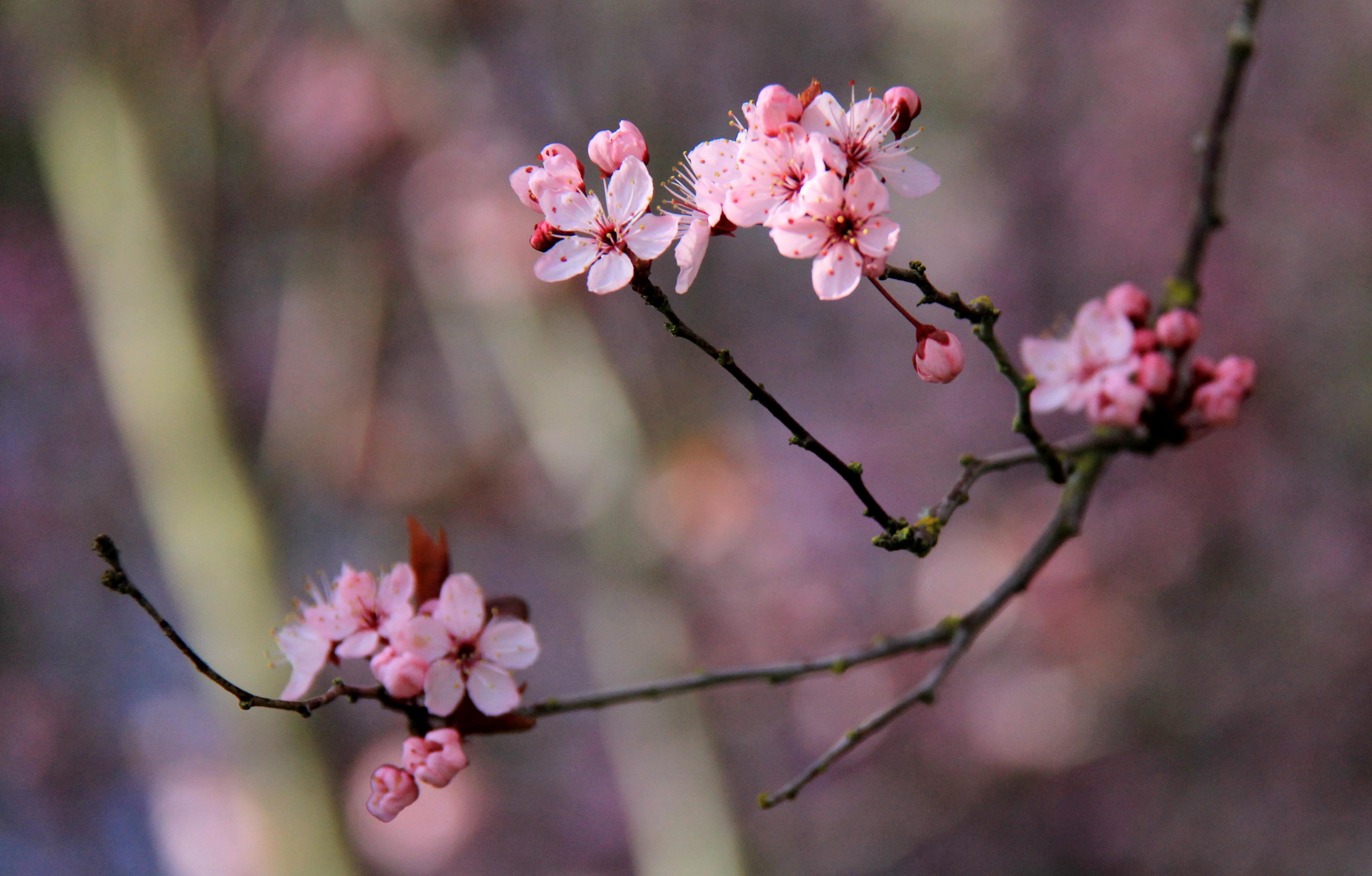 Japanese Cherry Grove | Le Tissier Designs