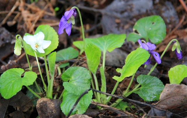 Purple and white Violets.