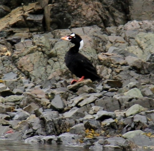 Surf Scoter at Sunset Bay!