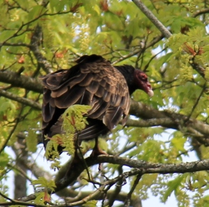Turkey Vulture - one of a pair that we saw landing in the tree's.