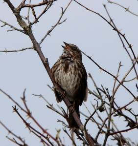 Song Sparrow at Neck Point - just singing her heart out!