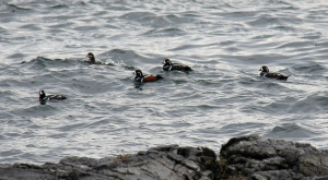 Harlequin ducks bobbing the chop.