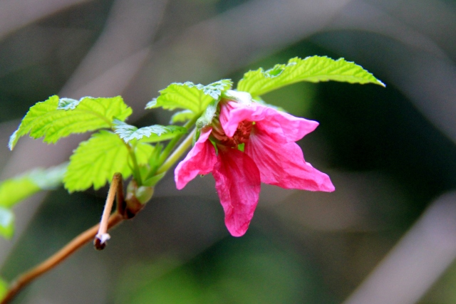 I love the Salmon Berry Blossom - they glow against the greenery around them.