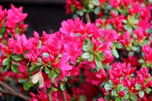 Beautiful Vibrant Azalea!