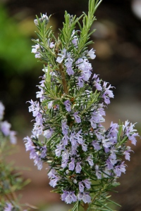 Rosemary in bloom - the hummingbirds and bees have been hovering around them!