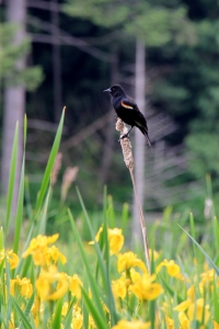 Red winged Blackbirds were singing their hearts out all over Hemer Marsh.